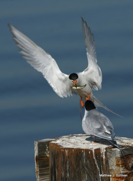 Forsters Terns Feeding