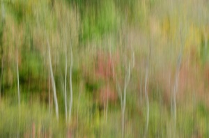 Birch Tree Blur