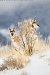HiddenPronghorn