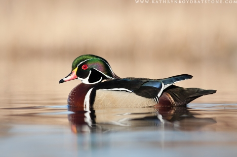 WoodDuckMale1