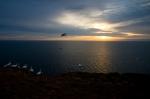 sunrise gannet