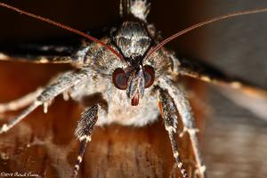 The face of a Locust Underwing Moth.